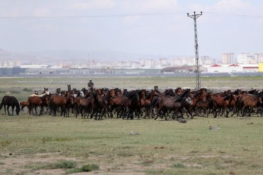 Hürmetçi Sazlığının özgür atları kimlik sahibi oluyor