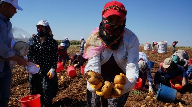 Adıyamanda patates hasadına başlandı