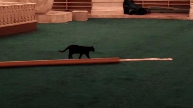 Minik kedi Ayasofya'daki hazırlıkları yakından inceledi