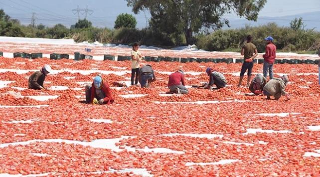 Kurutmalık domatesler serildi, Torbalı Ovası kırmızıya büründü