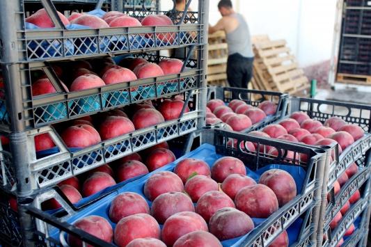 İnegölden Rusya ve Iraka şeftali ihracatı