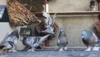 Diyarbakır'da güvercin oteli açıldı