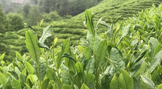 ÇAYKURda yaş çay bedeli ödemelerine başlandı