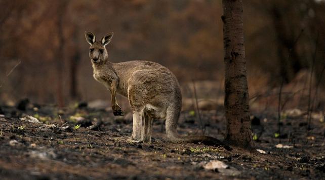 Avustralyadaki yangınlardan yaklaşık 3 milyar hayvan etkilendi