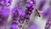 Arıların azalması birçok ürünün rekoltesini de etkiliyor