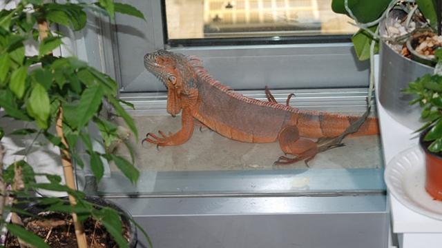 Üsküdar'da bulunan iguananın ismi artık 'Bayram'