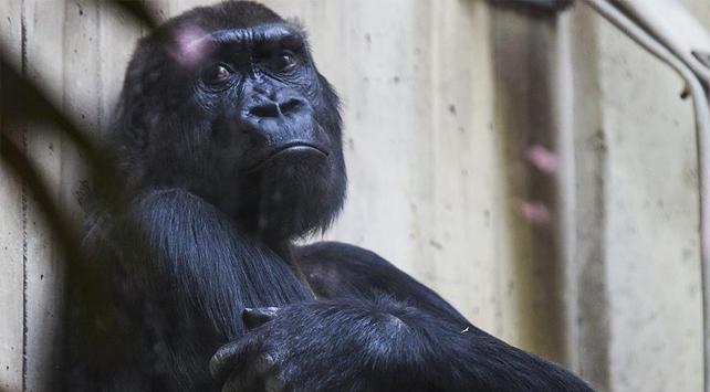 Ugandada goril öldüren kişiye 11 yıl hapis
