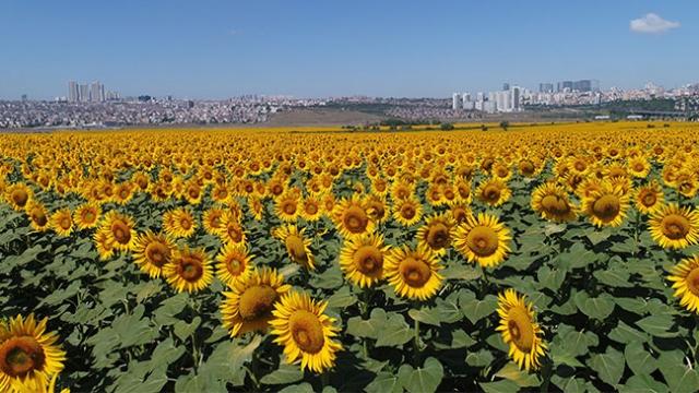 İstanbul'daki ayçiçeği tarlaları havadan görüntülendi