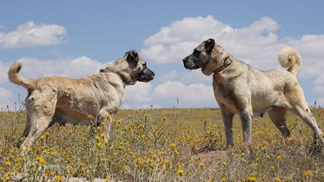 Kangal köpekleri çip teknolojisiyle korunacak