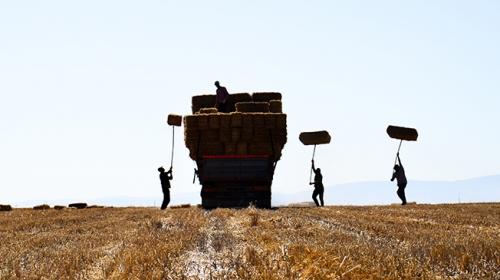Konya Ovası'nda zorlu ekmek mücadelesi