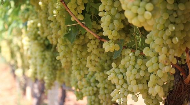 Sofralık üzümde hasat ve ihracat başlıyor