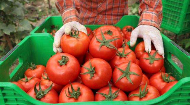 Örtü altı hasadına başlanan yayla domatesine ilgi arttı