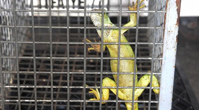 Taksi durağına giren iguana paniğe neden oldu
