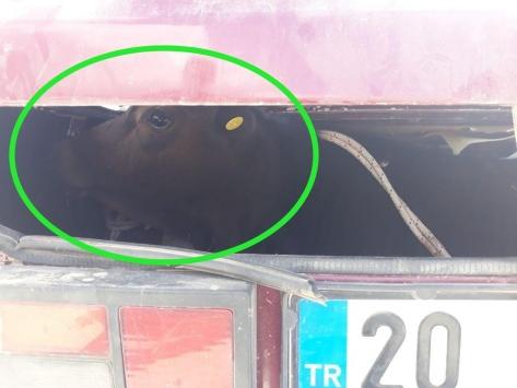 Denizlide çaldıkları ineği otomobil bagajında kaçıran 4 kişi yakalandı