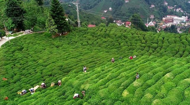 Çay ihracatından 7 ayda  9 milyon 131 bin dolar gelir sağlandı
