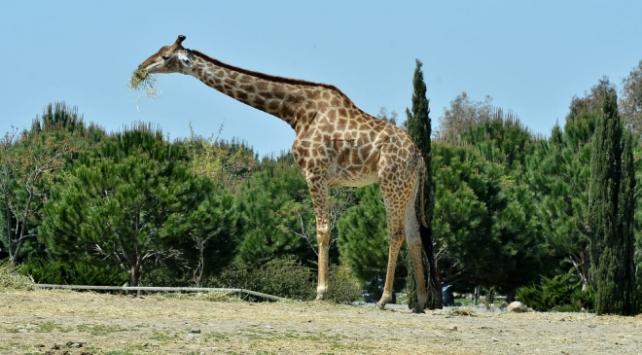 İzmir Doğal Yaşam Parkının simge hayvanlarından zürafa Zarife öldü