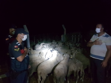 Kırklarelinde ağaçlık alanda kaybolan 47 koyunu jandarma buldu