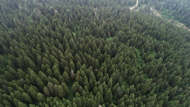 Ladin ormanlarını 65 bin faydalı böcek koruyacak