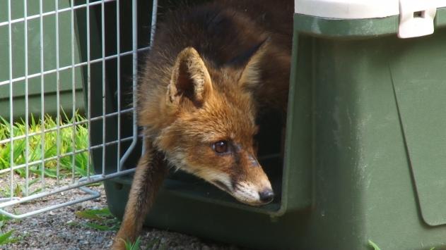 Ormanyada tedavi edilen iki yavru tilki doğaya salındı