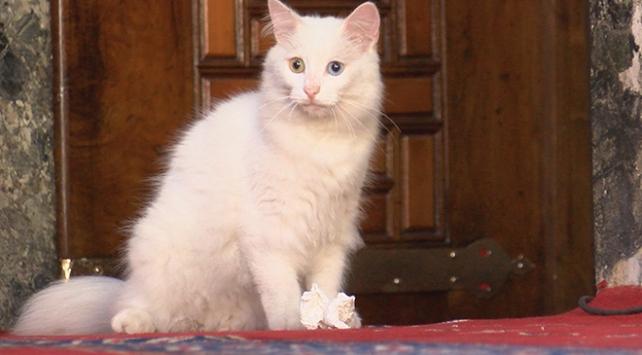 Ayasofyanın kedisi Gliye Ankaradan arkadaş geldi
