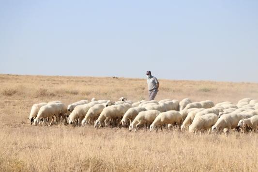 Niğdede büyüme ve gelişme hızı ile et verimi yüksek koyun ıslah edildi