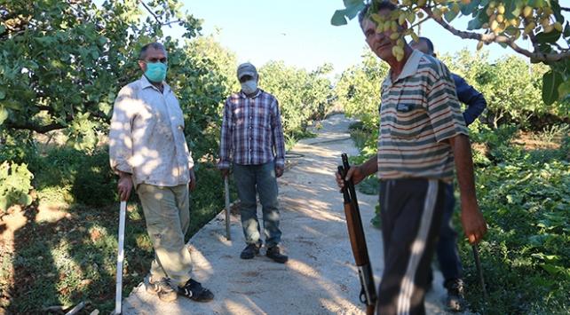 Siirtte fıstık üreticileri hırsızlara karşı nöbette