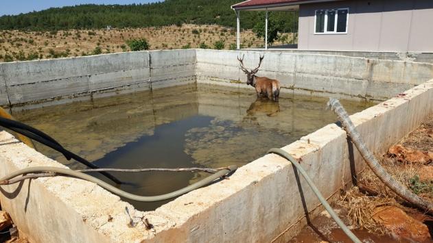 Denizlide sulama havuzuna düşen geyik kurtarıldı