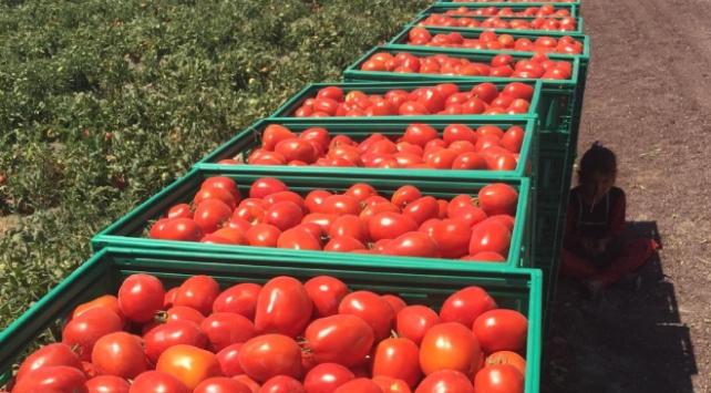 Tarım Kredi 85 bin ton salçalık domates alımına başladı