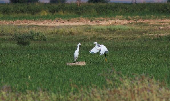 Suyla canlanan Suruç Ovası farklı kuş türlerine ev sahipliği yapıyor