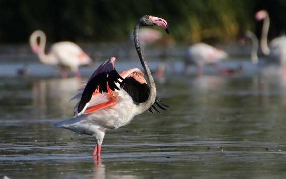 Van Gölünde konaklayan flamingolar fotoğraf tutkunlarını ağırlıyor