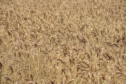 Karsta alternatif yem bitkisi tritikale üretimi yaygınlaşıyor