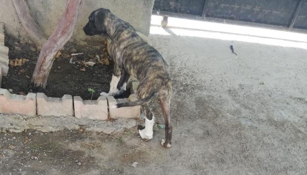 Üniversiteden sokak köpeklerine protez bacak desteği