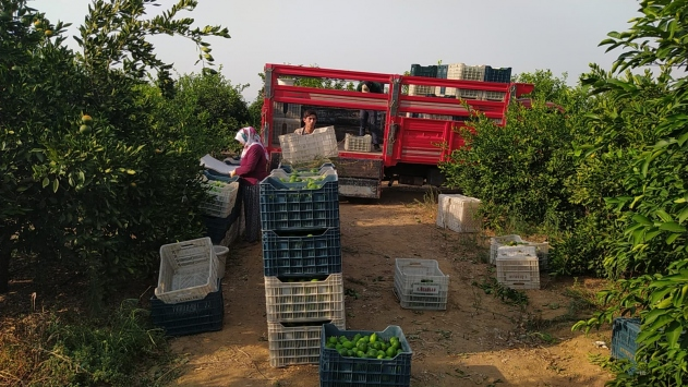 Adanada erkenci limon hasadı sürüyor