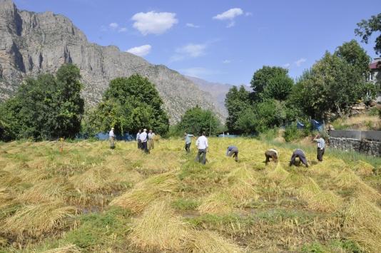 Irak sınırında çeltik hasadına başlandı