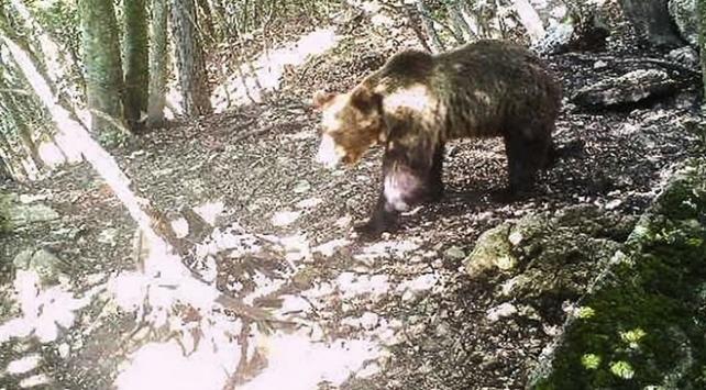 İtalyada 42 gündür firari olan ayı yakalandı