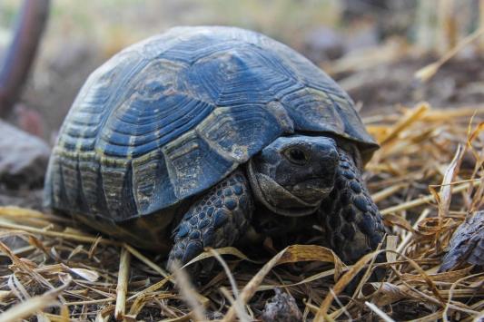 Konaklar köyünün sevimli misafirleri: kara kaplumbağaları