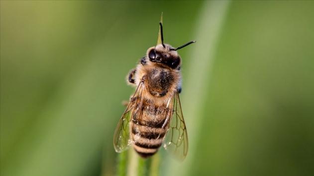 Yörelere özel arı ve koyun türleri tescillendi
