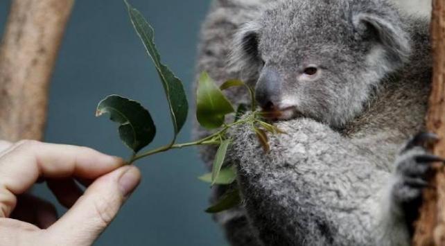 Avusturalyada koala savaşı eyalet hükümetini ikiye böldü