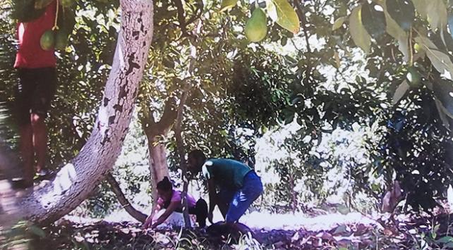 Avokado hırsızları fotokapana yakalandı