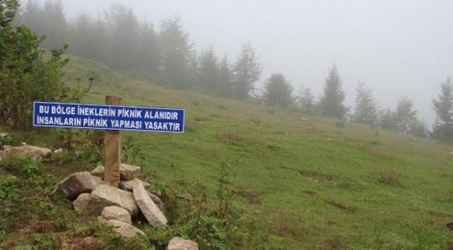 Piknikçilere tabelalı uyarı: Bu bölge ineklerin piknik alanıdır
