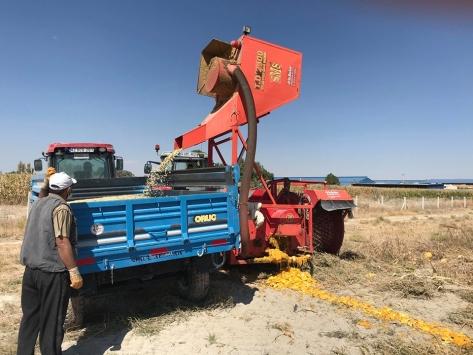 Karapınarda ilk defa ekilen çerezlik kabak çekirdeği hasadı gerçekleşti