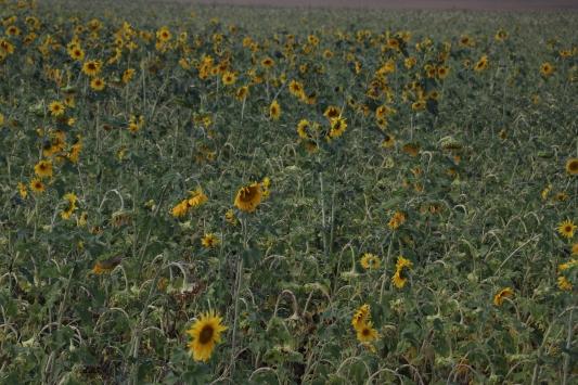 Ağrıdaki ayçiçeği bereketi mevsimlik işçilerin gelir kapısı oldu