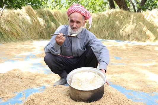 Bitliste geleneksel yöntemlerle ekilen kursunç pirincinde hasat başladı