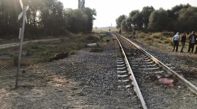 Yük treni büyükbaş hayvan sürüsüne çarptı