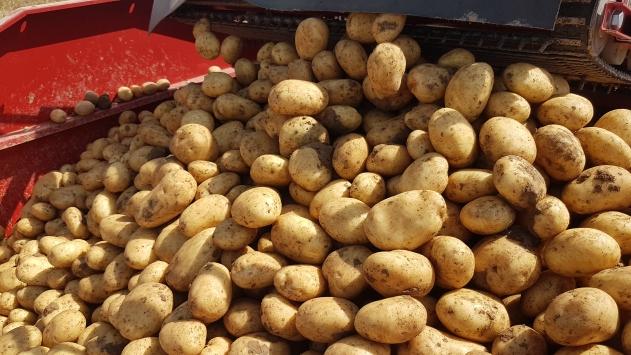 Niğdede patates hasadı devam ediyor