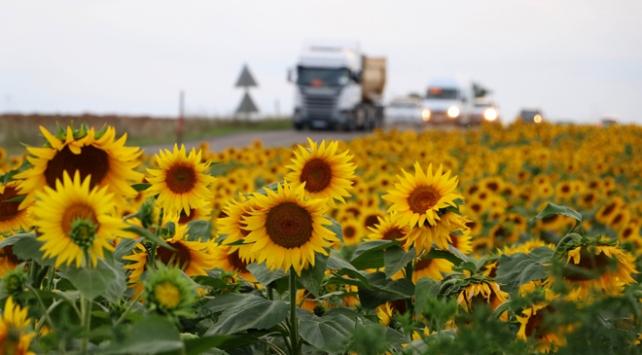 Trakya Birlik ayçiçeği avans ödemesi fiyatını revize etti