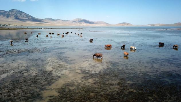 Muşta büyükbaş hayvanlar Kazan Gölündeki taze otlarla besleniyor