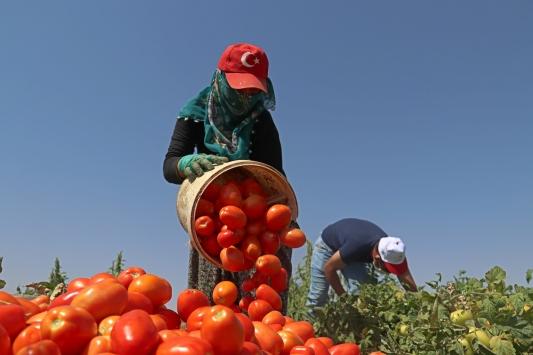 Elazığdan 500 ton kurutulmuş domates ihracatı hedefleniyor