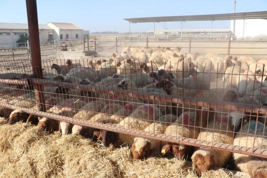 TİKAdan KKTCde çiftçilere küçükbaş hayvan desteği
