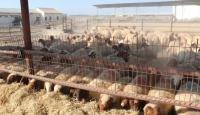 Mersin'de çiftçilere küçükbaş hayvan desteği
